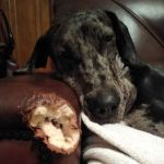 Picture of dog next to the damage done from chewing the arm on a leather couch